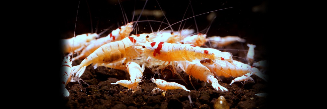 White shrimps
